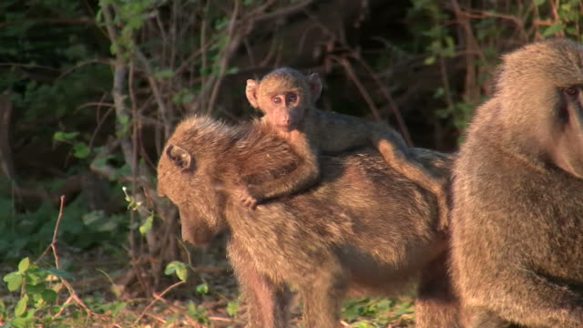 Baby baboon - Pavian_Baby3 video