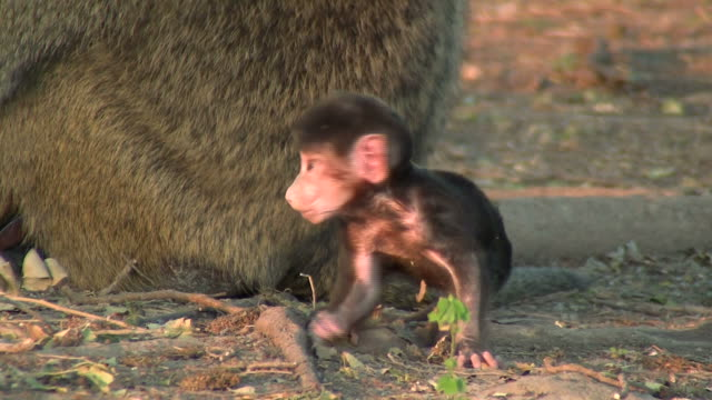 baby baboon_Pavian_Baby5 video