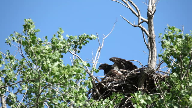 Baby Bald Eagle Teaching Himself to Fly video