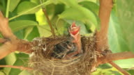 baby birds in nest video