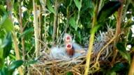Baby Birds In Nest video