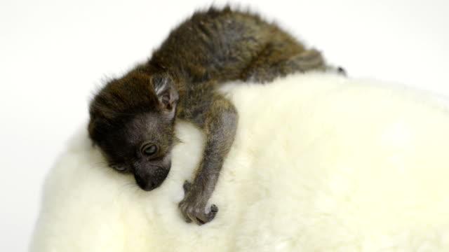 Baby Blue-eyed black lemur (20 days old) falling asleep video