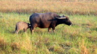 Baby buffalo eating his mother milk in the rice field video
