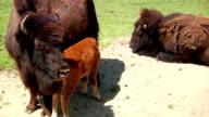 Baby Buffalo video