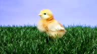 Baby Chick Chirping video