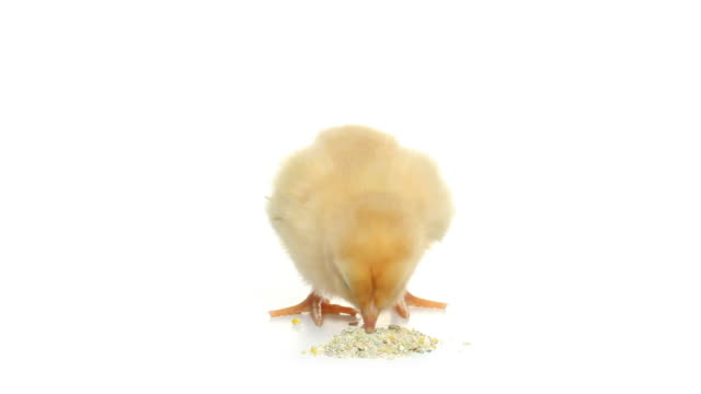 HD baby chick eating pecking isolated on white video