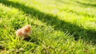 Baby chick standing in the grass video