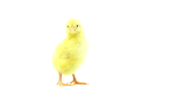 Baby chick video