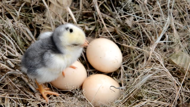Baby Chicken Chirping In Nest_HD video