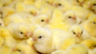 Baby chicken, small and very beautiful video