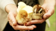 Baby chickens held in hands video
