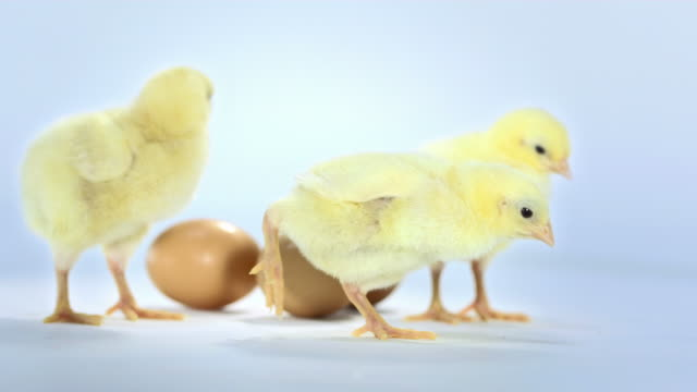 HD: Baby Chickens With Eggs video