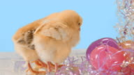 Baby chicks around Easter eggs video