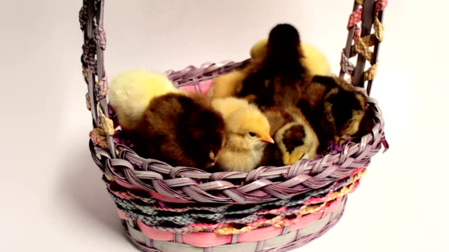 Baby Chicks in Easter Basket video
