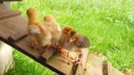 Baby chicks on chicken coup platform. video