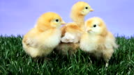 Baby Chicks video