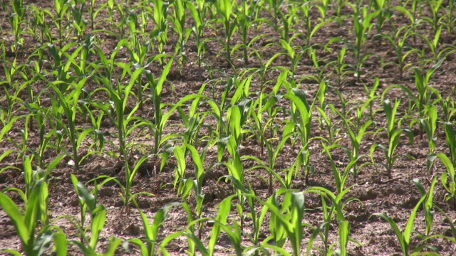 Baby Corn Montage. Agriculture. video