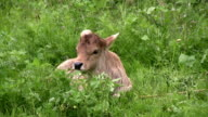 Baby Cow video