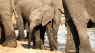 Baby elephant standing in amongst herd of adults at rivers edge video