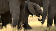 Baby elephant standing in amongst herd of adults video