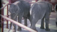 1963: Baby elephants in small zoo holding pens on display for wealthy humans. video