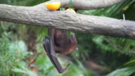 baby fruit bat video