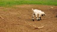 baby goat walk in field video