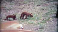 1965: Baby grizzly brown bear cub climbs a tree when scared with mother. video