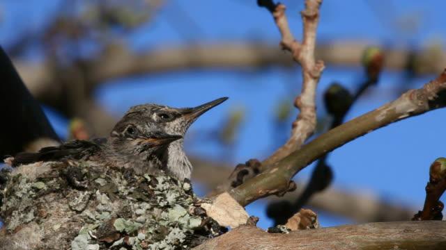 Baby Hummingbird video