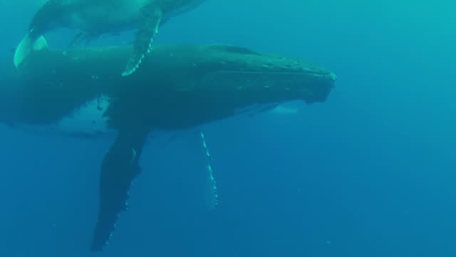 Baby Humpback Whale floating  at the surface with its mother video