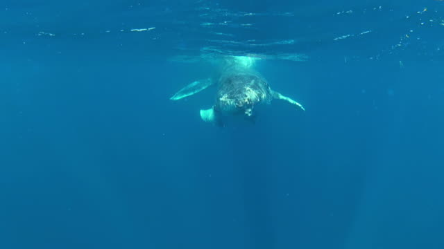 Baby Humpback Whale swimming up close video