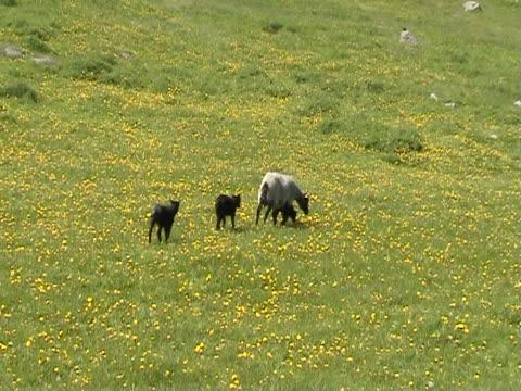 Baby Lamb and Mother Sheep walking video