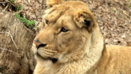 baby lion waiting video