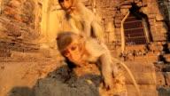 Baby monkeys in Thai Temple video
