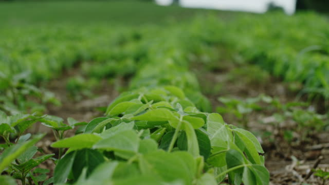 Baby natural organic crops for high end produce in America video