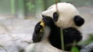 baby panda video