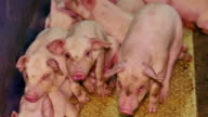 Baby Pigs on a Farm video