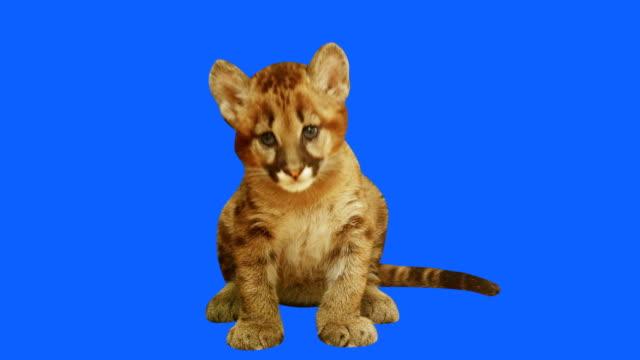 Baby Puma video