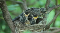 Baby Robins video