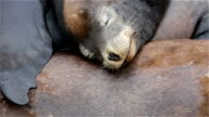 Baby Sea lion video