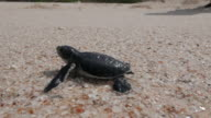Baby sea turtle hatching and make the way to ocean video