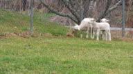 Baby Sheep video