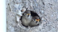 Baby Sparrows In The Nest video