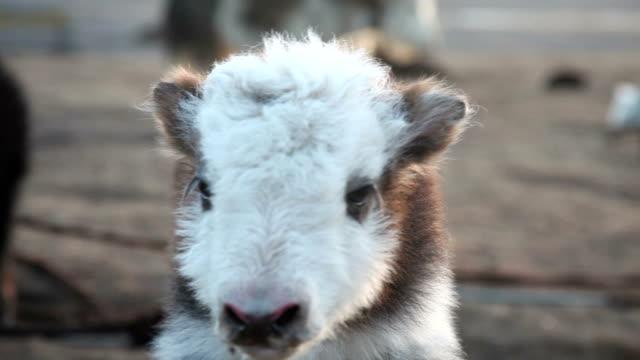 baby tibetan yaks (Bos grunniens) video
