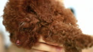 baby toy poodle video
