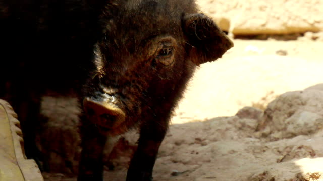 Baby wild boar piglets video