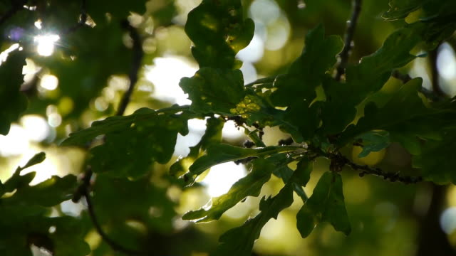 Back Lit Oak Leaves video