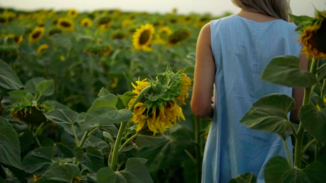 Back view of unrecognizable blond woman in a blue dress walking in a field of sunflowers. Slowmotion shot video