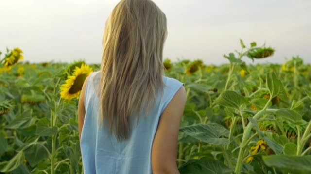 Back view of unrecognizable blond woman walking in a field of sunflowers. Slowmotion shot video