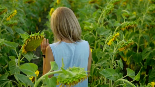Back view of young blond woman walking in a field of sunflowers then smelling a sunflower, enjoying nature. Slowmotion shot video